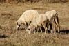 坝上细毛羊