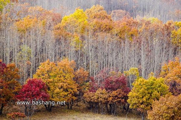 秋季唯美白桦林