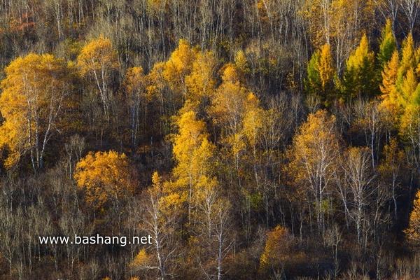 秋季唯美白桦林 坝上美景