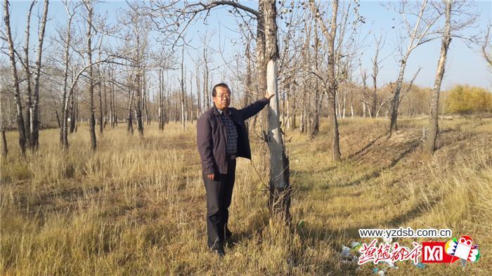 河北省张家口市坝上有上百万亩防护林濒临衰死